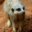 Stock Photo: Meerkat closeup portrait