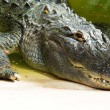 Alligator head closeup — Stock Photo