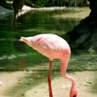 Stock Photo: Flamingo searching for food