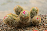 Cactus — Stock Photo