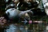 Asian small-clawed otter — Stock Photo