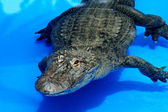 Alligator in blue water — Stock Photo