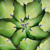 Agave close-up background — Stock Photo