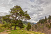 View to foothills of Caucasus mountains over lonely pine under h — Photo