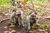 Red colobus (Piliocolobus kirki) monkey — Stockfoto