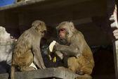 Holy monkeys — Stock Photo