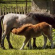 Foal-suckling — Stock Photo
