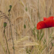 Poppy-rye field — Stock Photo #13396448
