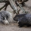 Porcupines-branches — Stock Photo