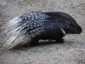 Porcupine-little — Stock Photo