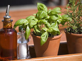 Herbal pots-basil — Stock Photo