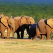 Elephant herd on open green plains — Stock Photo