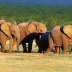 Elephant herd on open green plains — Stock Photo