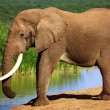 Stock Photo: Elephant with large tusks at waterhole