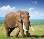 Elephant with large tusks — Stock Photo