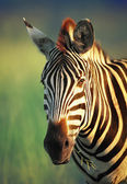 Zebra portrait — Stock Photo