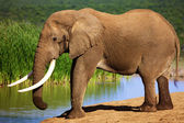 Elephant with large tusks at waterhole — Stock Photo