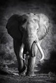 Elephant Bull (Artistic processing) — Photo