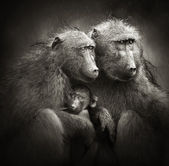 Chacma baboons with baby in rain — Stock Photo