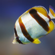 South African Butterflyfish - Stock Photo