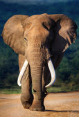 Elephant approaching — Stock Photo