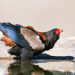 Bateleur eagle drinking water — Stock Photo