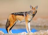 Black-backed jackal — Stock Photo