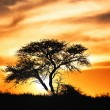 Sunset against acacia tree on african plains — Stock Photo #29094617