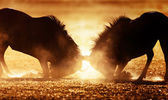Blue wildebeest dual in dust — Stock Photo
