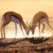 Stock Photo: Springbok dual in dust
