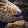 Honeycomb moray eel close-up — Stock Photo