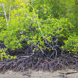 Rain forest mangrove — Stock Photo