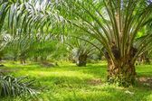Palm oil farm — Stock Photo