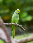 Green parrot bird — Photo