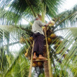 Coconut climbing — Stock Photo