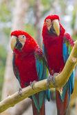 Pair of macaw — Stock Photo