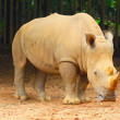 Big Rhino in zoo — Stock Photo #28462677