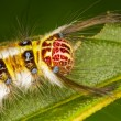 Gypsy moth caterpillar — Stock Photo