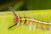 Gypsy caterpillar — Stock Photo