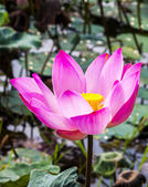 Beautiful lotus flower — Stock Photo