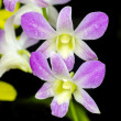 Orchid purple color Thai species — Stock Photo #33643761