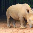 Rhino at zoo — Stock Photo #36321313
