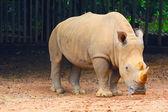 Rhino at zoo — Stock Photo