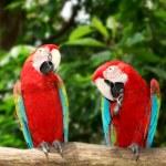 Two red macau — Stock Photo