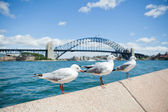 Seagulls and Sydney Harbour Bridge — Stock Photo