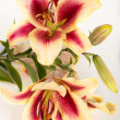 Lily on white backdrop — Stock Photo