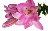 Beautiful lily on white — Stock Photo