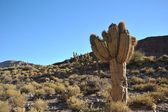 Cacti in the highlands of Bolivia — Стоковое фото