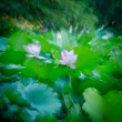 Lotus flower blur — Stock Photo
