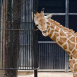 Stock Photo: Wild animal giraffe